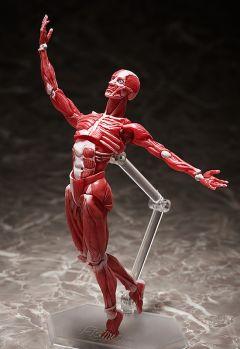 Фигурка figma Human Anatomical Model изображение 4
