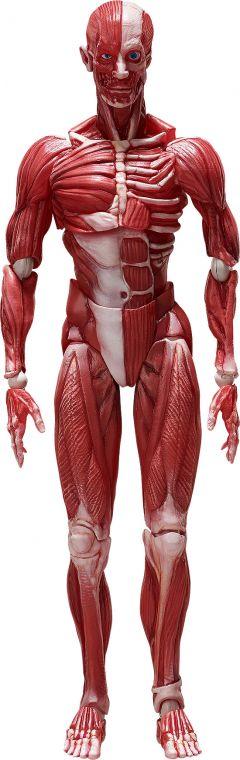 Фигурка figma Human Anatomical Model изображение 8