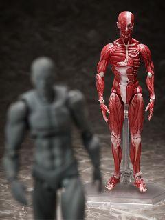 Фигурка figma Human Anatomical Model изображение 7