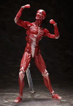 Фигурка figma Human Anatomical Model изображение 2